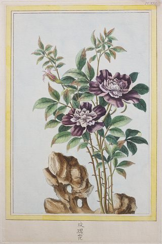 Hand-colored illustration of a flowering plant