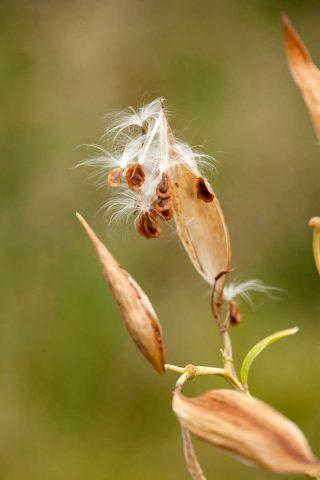 Photo of Asclepias incarnata seeds