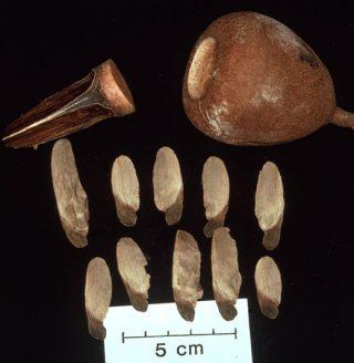 Photo of Cariniana seeds