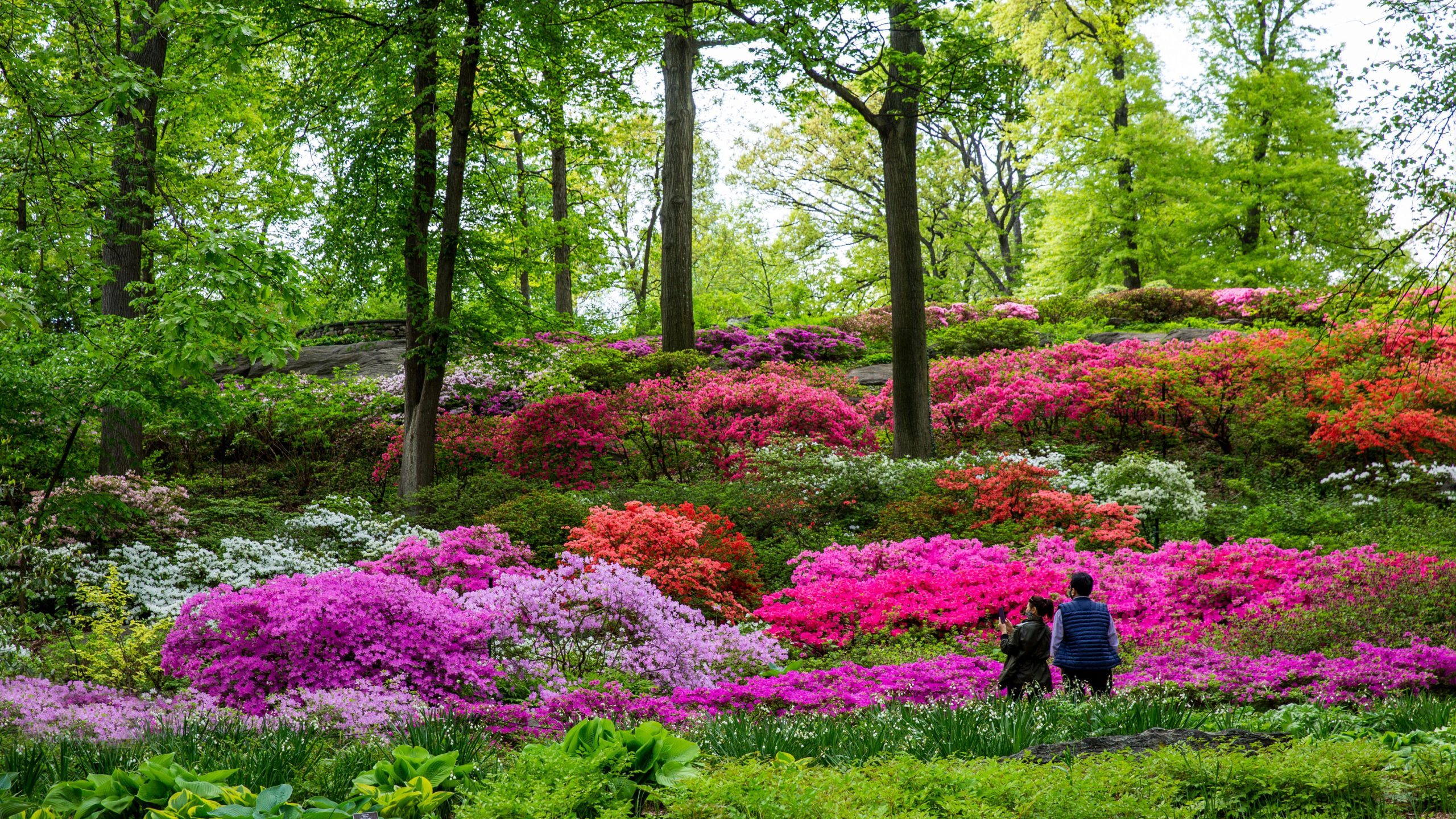 Two people in front of a vibrant hill of azaleas