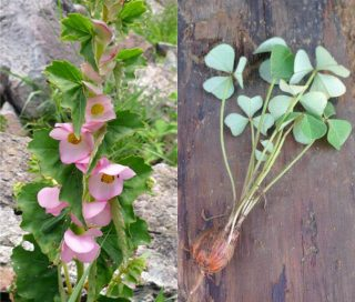 Side-by-side images of pink flowers and green, clover-like leaves