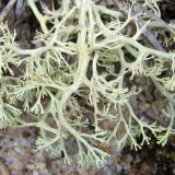 Pale green reindeer lichen stretch out over a brown and gray rockface.