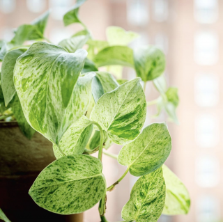 Photo of a marbled pothos in the sunlight
