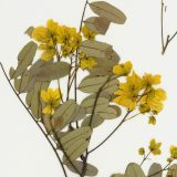 Pressed yellow flowers arranged on an herbarium sheet, interspersed with branches and dry brown leaves