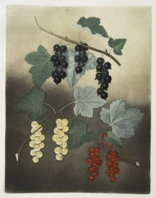 Painting of red, white, and purple bunches of currants growing on vines, set against a chiaroscuro background