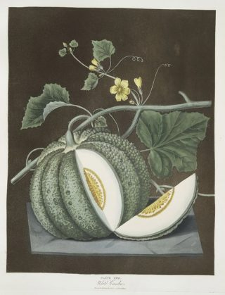 Painting of a striped green melon still growing on the vine, a wedge cut away from the center with a yellow, seeded center and small yellow flowers above