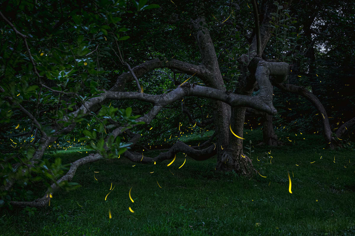 Composite photo of fireflies glowing en masse under the twisting brown branches of a tree at sunset
