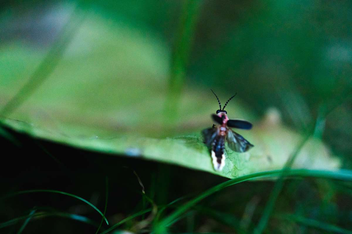 A firefly perches on a blade of grass, its abdomen glowing yellow