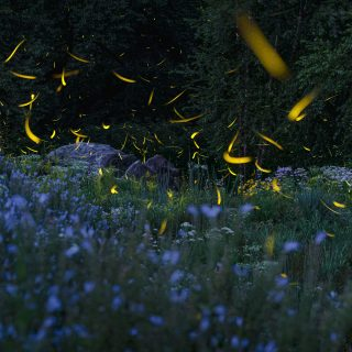 Composite photo of fireflies flashing yellow over a field of blue wildflowers just after sunset