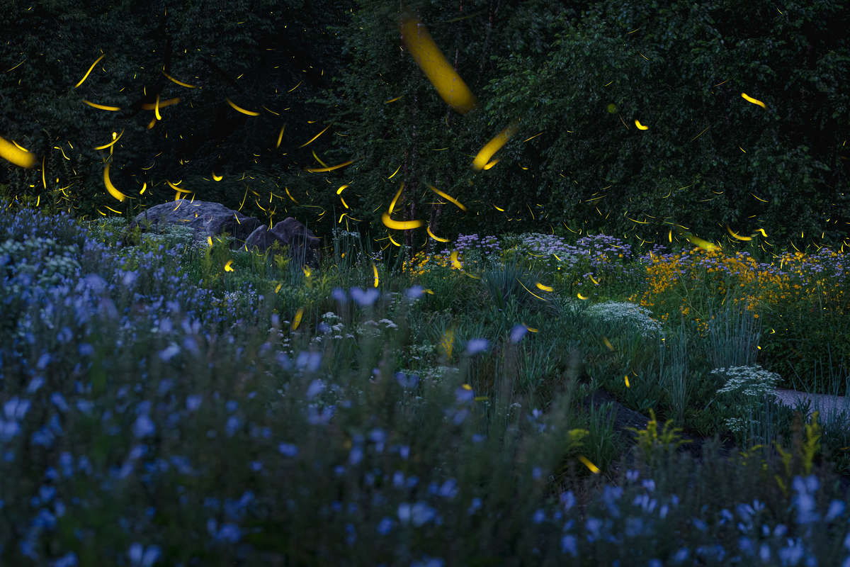 Composite photo of a cloud of glowing fireflies swooping over a field of blue wildflowers after dark