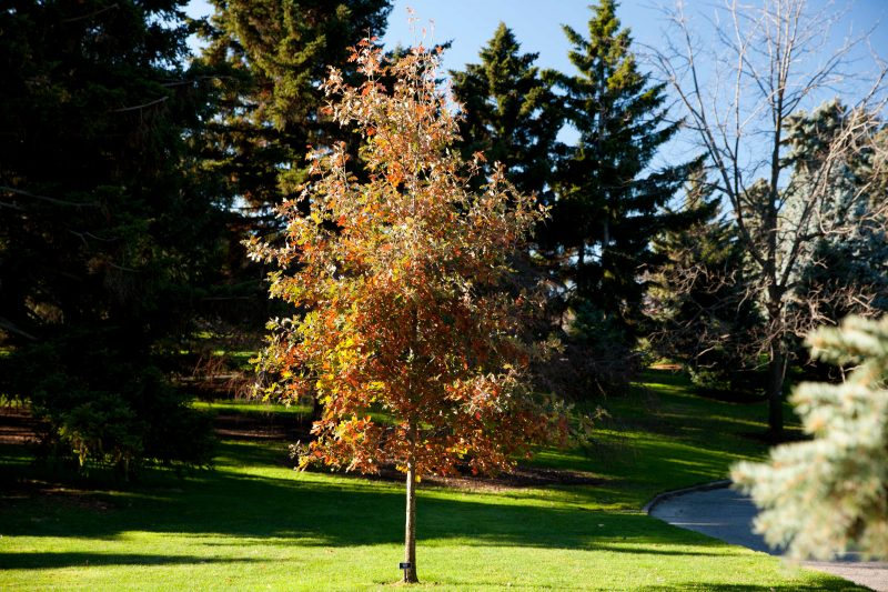 A young tree shows its changing leaves as fall approaches, transitioning from green to an orange-brown. Sun shines on the grass surrounding it, and conifers rise up in the background.