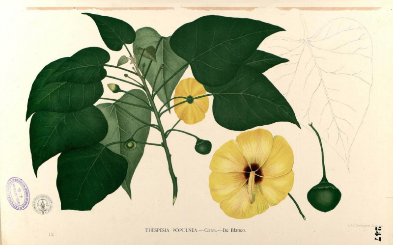 Colored illustration of yellow flowers with pink-red centers, growing with large, heart-shaped green leaves