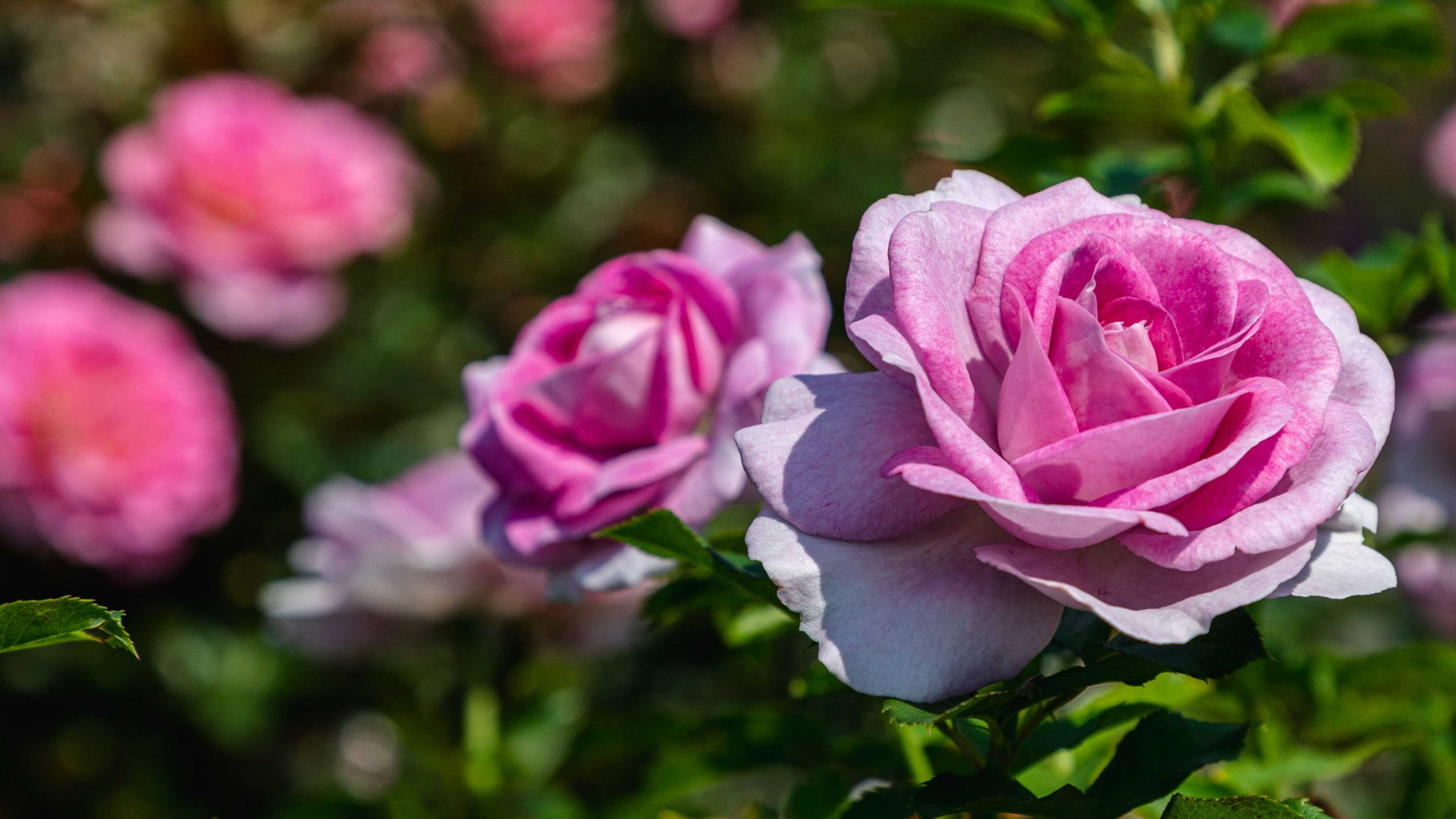 A pair of pink roses that fade almost to white at the petals' edges bloom brightly under the sun, with more flowers visible in the background