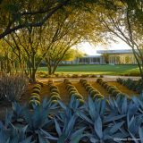 A geometric planting of agave, trees, and small, round topiaries arranged in symmetrical rows, with a ranch-style home visible in the background