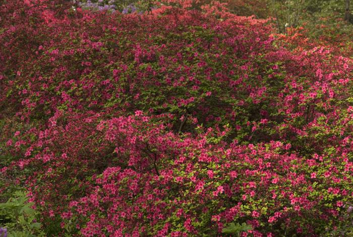 azaleas show slideshow2 2011