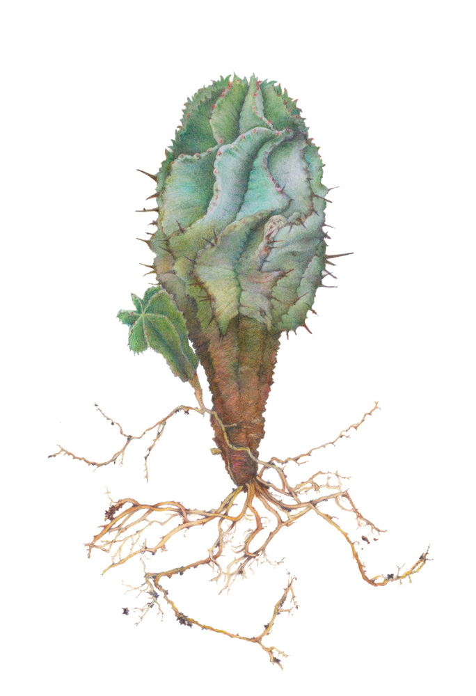 <em>Euphorbia horrida</em>, &copy; Nancy Gehrig