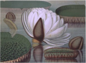 <b>The first North American flowering of <i>Victoria Amazonica</i> or Giant Waterlily occurred in 1851 in Philadelphia</b><br /> <i>Victoria amazonica</i> or <i>regia</i>, Chromolithograph in John Fisk Allen, <i>Victoria regia; or the Great Water Lily of America</i>. . . Boston: Dutton and Wentworth, 1854.