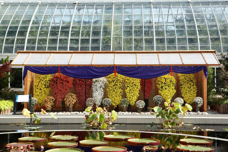 Kiku, the Art of the Japanese Chrysanthemum