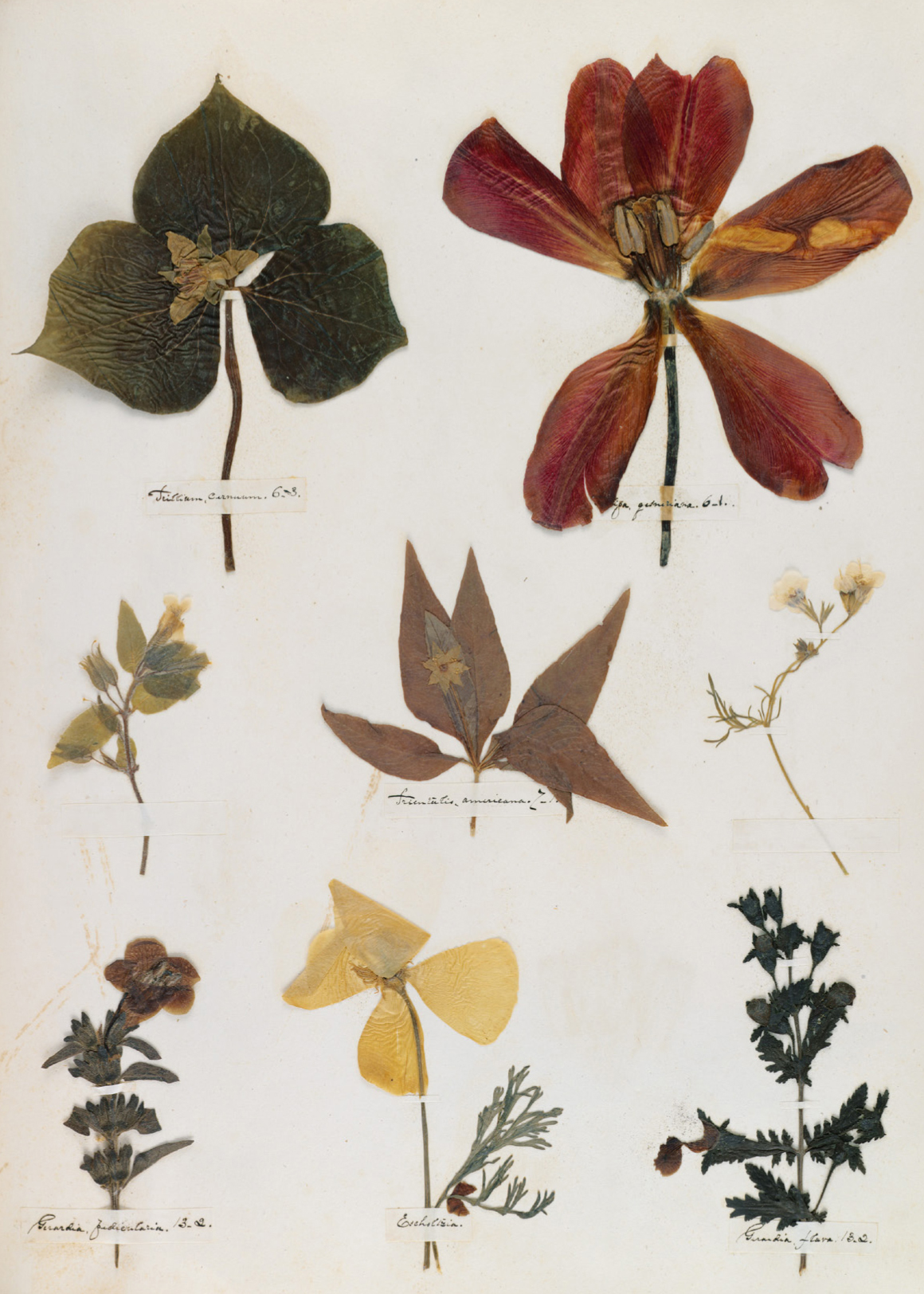 Flowers pressed from Dickinson's garden
