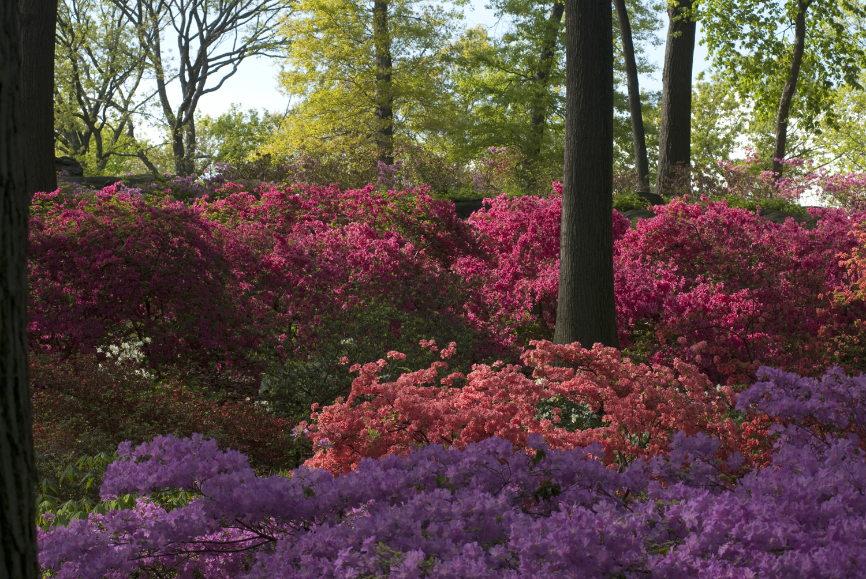 The new york botanical garden for The azalea