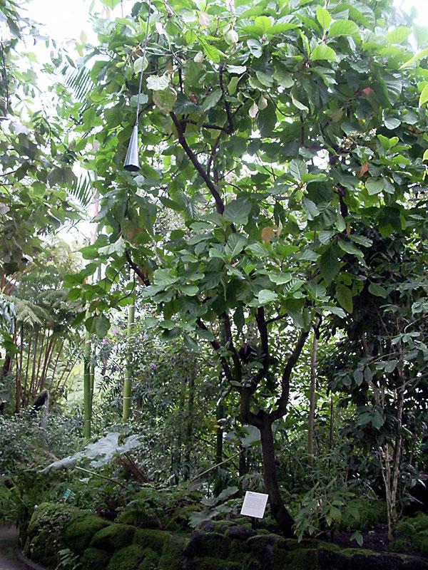 Cinchona Officinalis