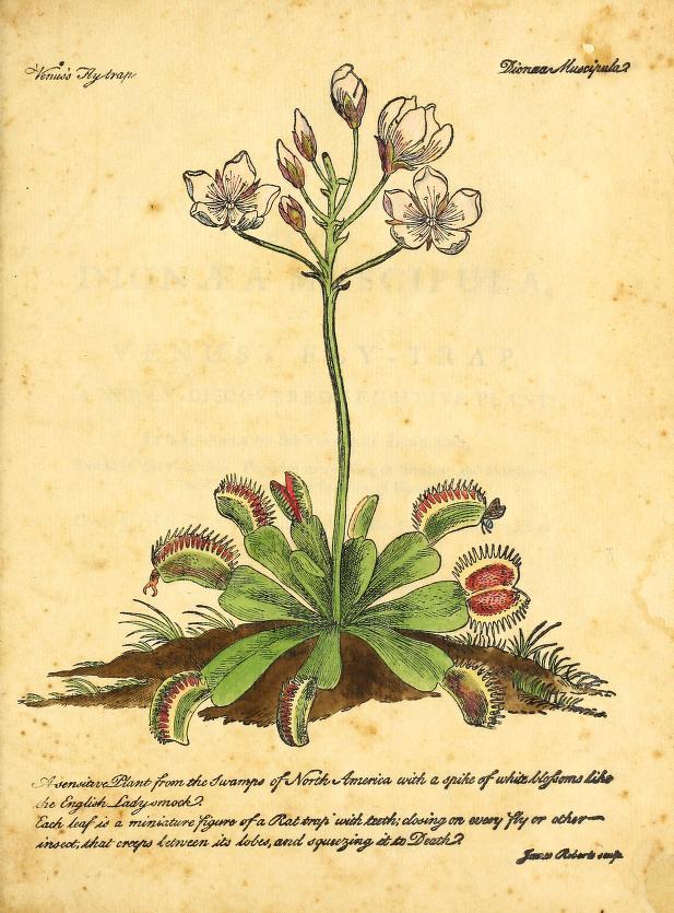 Poetic Botany Drosera Rotundifolia