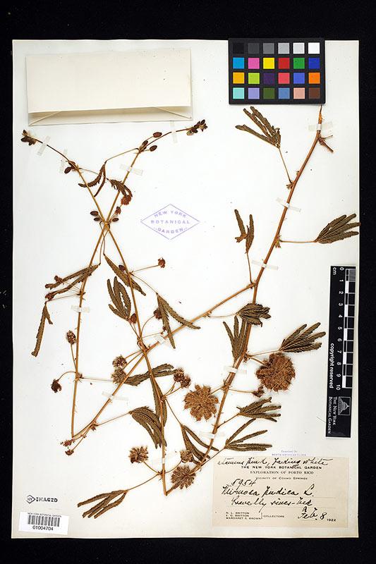 Poetic Botany | Mimosa pudica
